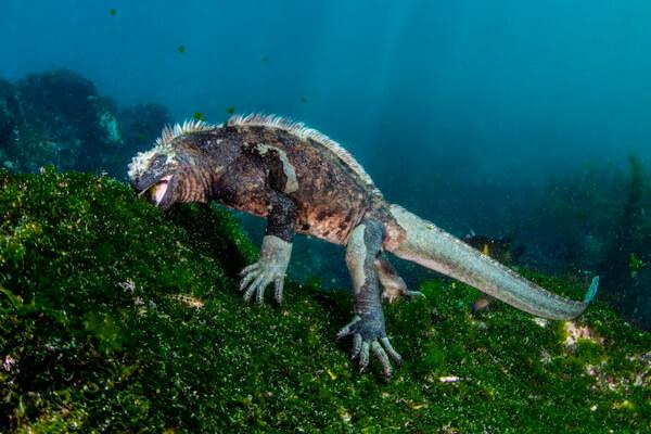 Удивительные ящерицы - Морская игуана