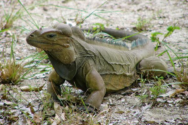 Необычные ящерицы - Игуана-носорог