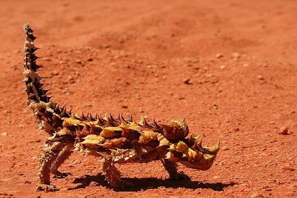 Удивительная рептилия - Ящерица молох