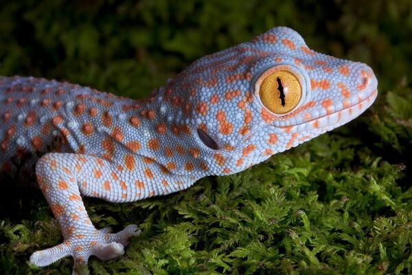 Необычные ящерицы - Геккон токи