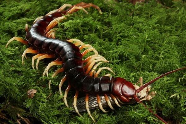 Самые опасные животные Амазонки - Гигантская сколопендра