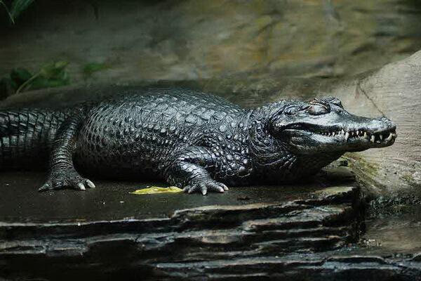 Самые опасные животные Амазонки - Чёрный кайман