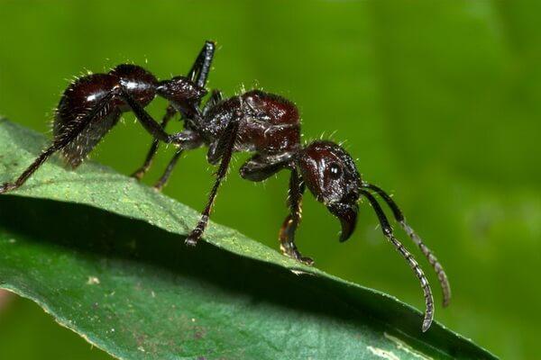 Самые опасные животные Амазонки - Муравей-пуля