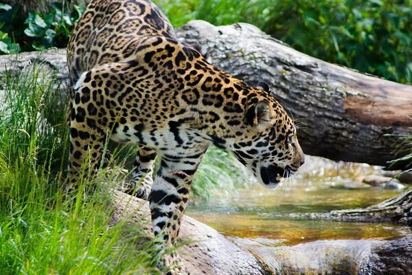 Самые опасные животные Амазонки - Ягуар