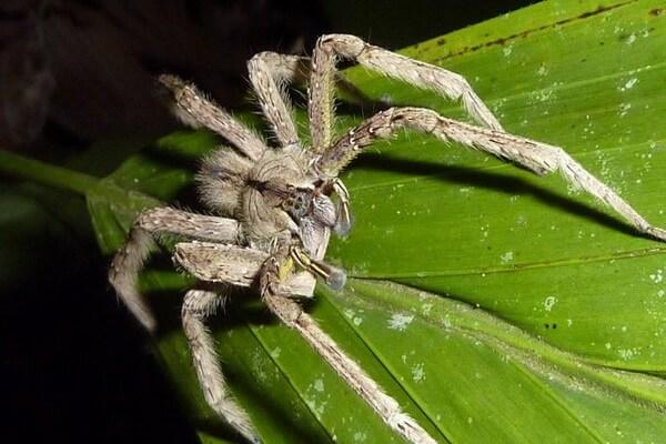 Самые опасные животные Амазонки - Бразильский странствующий паук