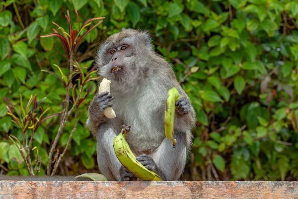 Необычные обезьяны с фото и описанием - Макак-крабоед или яванский макак