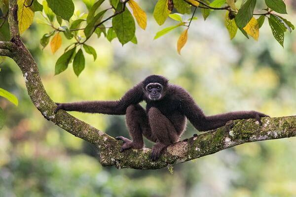 Необычные обезьяны с фото и описанием - Гиббон Мюллера