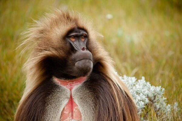 Необычные обезьяны с фото и описанием - Гелада