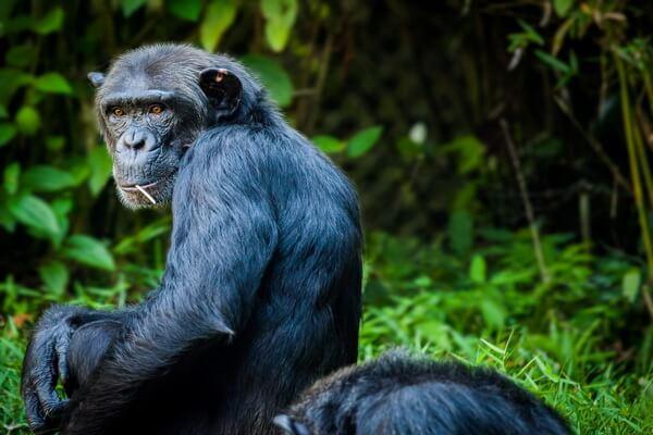 Необычные обезьяны с фото и описанием - Обыкновенный шимпанзе