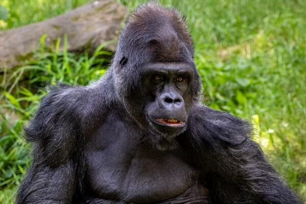 Необычные обезьяны с фото и описанием - Западная равнинная горилла