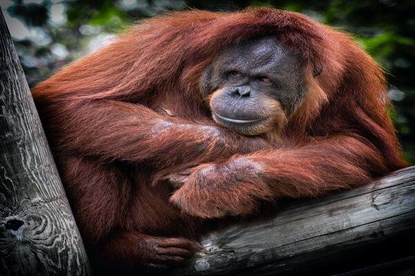Необычные обезьяны с фото и описанием - Калимантанский орангутан
