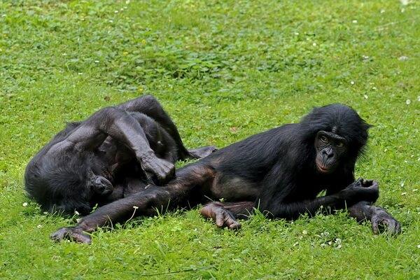 Необычные обезьяны с фото и описанием - Бонобо или карликовый шимпанзе