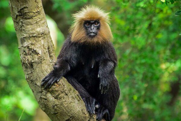Необычные обезьяны с фото и описанием - Капюшонный или нилгирийский гульман