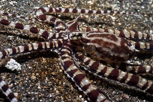 Самые красивые и необычные осьминоги с фото и описанием - Мимический индонезийский осьминог