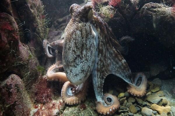 Самые красивые и необычные осьминоги с фото и описанием - Осьминог обыкновенный