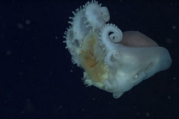 Самые красивые и необычные осьминоги с фото и описанием - Семирукий осьминог