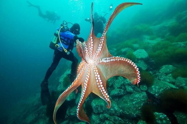 Самые красивые и необычные осьминоги с фото и описанием - Гигантский осьминог