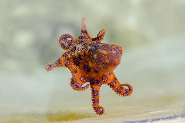 Самые красивые и необычные осьминоги с фото и описанием - Синекольчатый осьминог