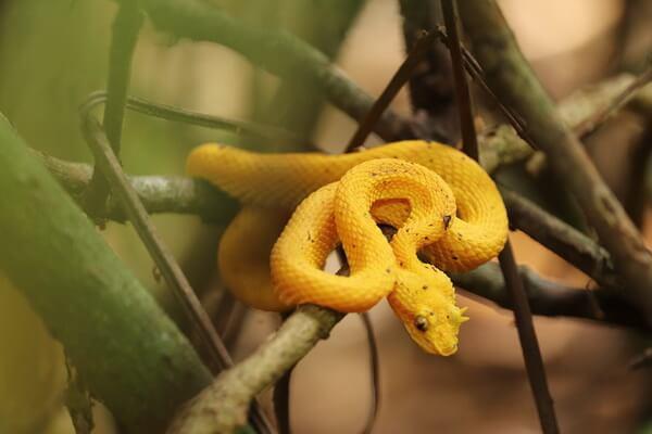 Животные, ведущие ночной образ жизни с фото и описанием - Цепкохвостый ботропс Шлегеля