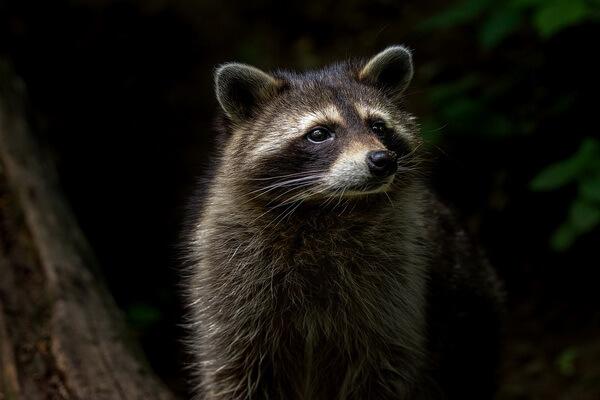 Животные, ведущие ночной образ жизни с фото и описанием - Енот-полоскун