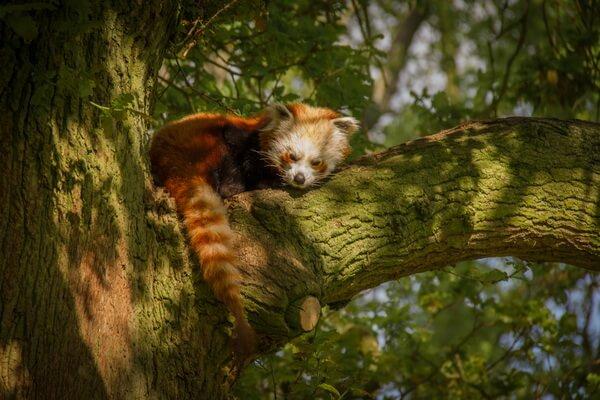 Животные, ведущие ночной образ жизни с фото и описанием - Малая или красная панда
