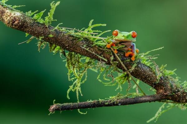 Животные, ведущие ночной образ жизни с фото и описанием - Красноглазая квакша