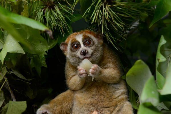 Животные, ведущие ночной образ жизни с фото и описанием - Толстый лори