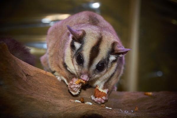 Животные, ведущие ночной образ жизни с фото и описанием - Сахарный летающий поссум