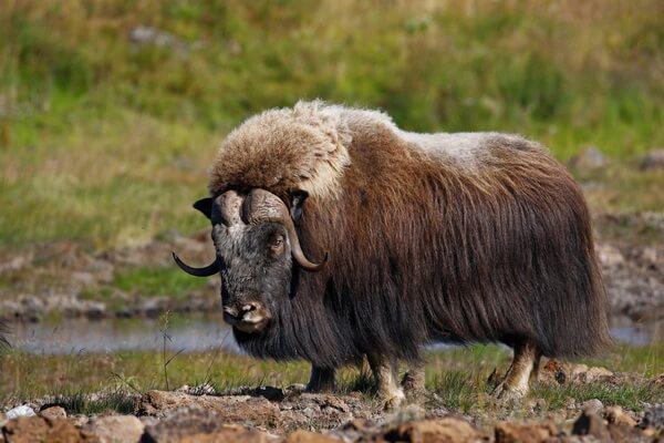 Как выглядит овцебык