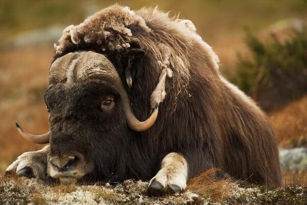 Животное овцебык - фото и описание