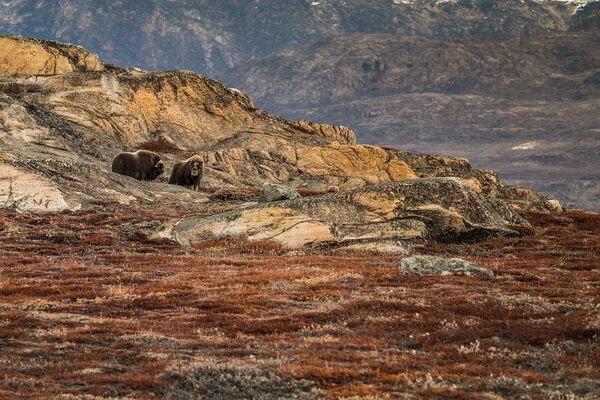 Где обитает овцебык в России - основные места