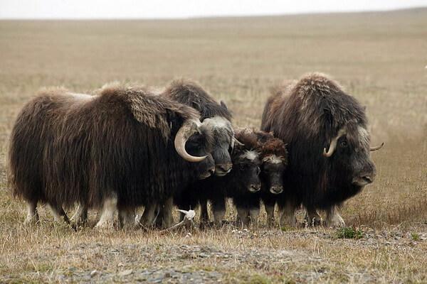 Образ жизни овцебыка