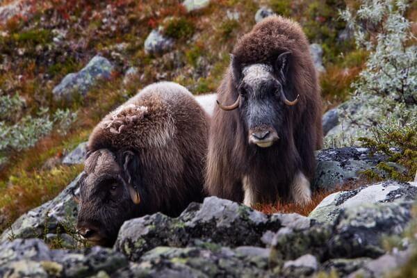Размножение овцебыков