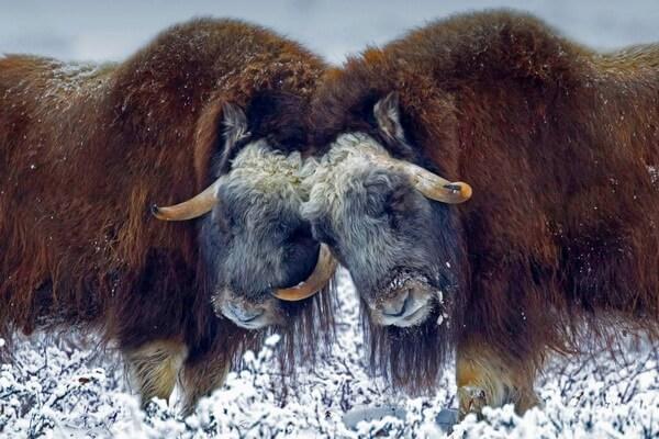 Бои самцов овцебыков в брачный период