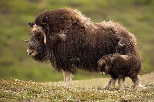 Самка и детёныш овцебыка