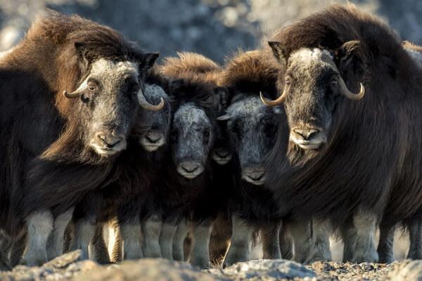 Как овцебыки защищаются от волков и иных хищников