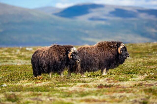 Овцебык или мускусный бык - фото и описание животного