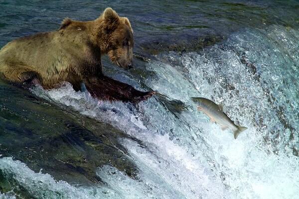 Охота медведей на лососей в парке Катмай на Аляске