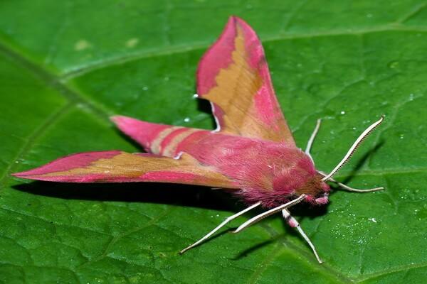 Животные розового цвета - Розовый или винный малый бражник