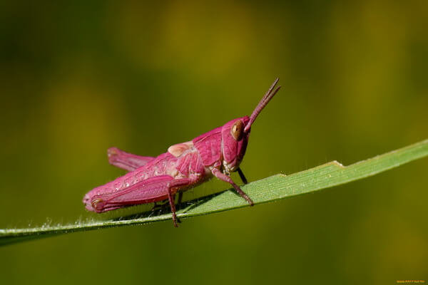 Животные розового цвета - Настоящие кузнечики