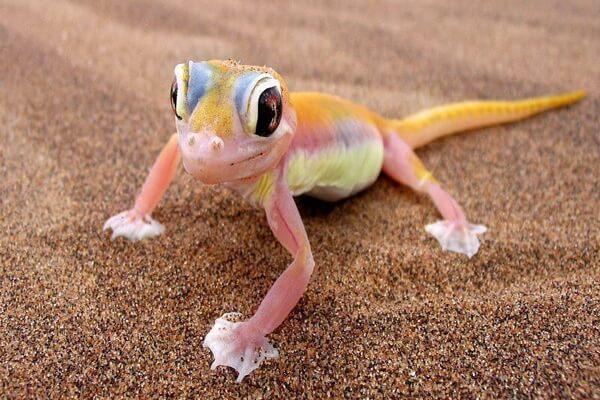 Розовые животные - Песчаный геккон Намиб