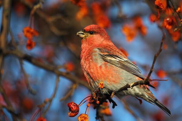 Птицы розового цвета - Обыкновенный щур