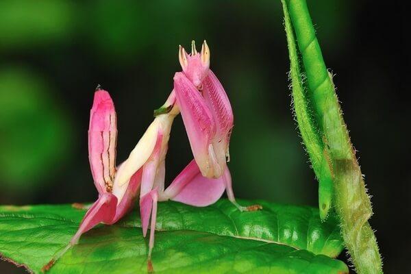 Животные розового цвета - Орхидейный богомол
