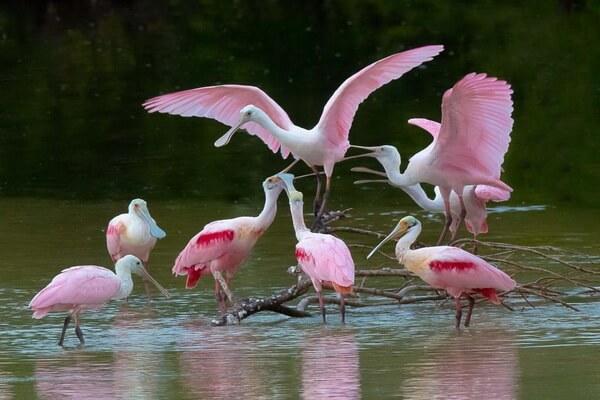Животные розового цвета - Розовая колпица