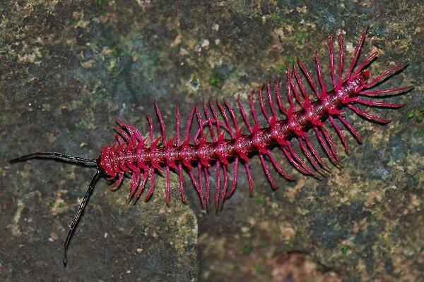 Розовые животные - Двупарноногая многоножка Desmoxytes