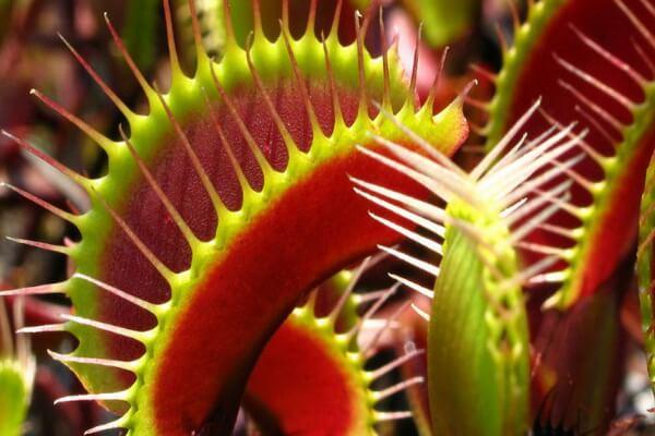 Как растения-хищники ловят добычу