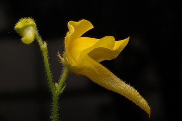 Плотоядные растения с фото и описанием - Генлисея