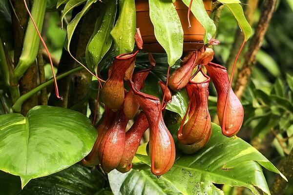 Плотоядные растения с фото и описанием - Непентес