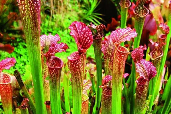 Плотоядные растения с фото и описанием - Саррацения пурпурная