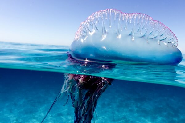 Португальский кораблик - ядовитое морское существо